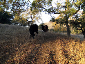 "Photo: Cows on the trail. Some bikers went thru and shouted some ""Yee haws"" to shoo them away :)"