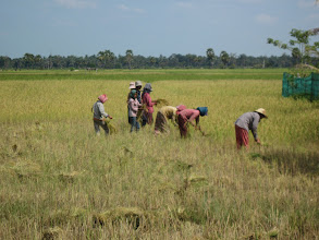 Photo: Harvesting rice in Cambodia