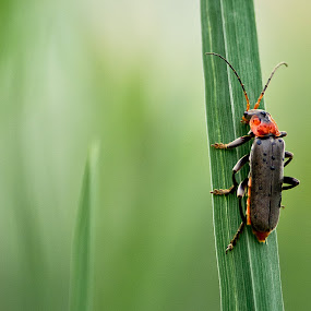 Cantharis fusca by Jens Klappenecker-Dircks - Animals Insects & Spiders