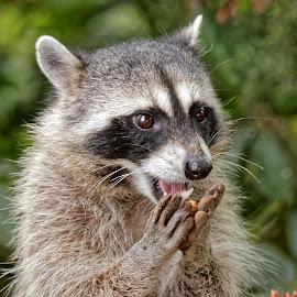 Raccoon 9023 by Raphael RaCcoon - Animals Other Mammals
