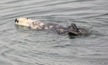 Photo: (Year 3) Day 20 - Otter Floating #5