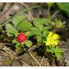 Duchesnea indica 蛇莓