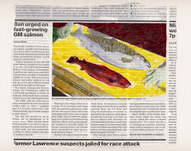 Photo: Ban Urged On Fast-growing GM Salmon. Water color and gold leaf on newspaper, (125 x 186 mm).