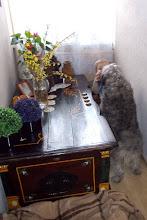 Photo: Wieści z nowego domku Luny :) Witam. Przesyłam kilka zdjęć Luny :) Jest kochana. Już coraz częściej śpi, bo na początku nieustannie domagała się pieszczot Wczoraj ją wykąpaliśmy i troszkę ją przystrzygłam.