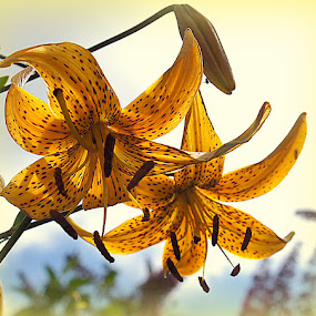 lily by Caroline Beaumont - Flowers Flower Gardens ( lily )