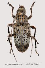 Photo: Atrypanius conspersus, 13,3 mm, Costa Rica, San José (09°58´/-84°04´), leg, Erwin Holzer, det. Herbert Schmid