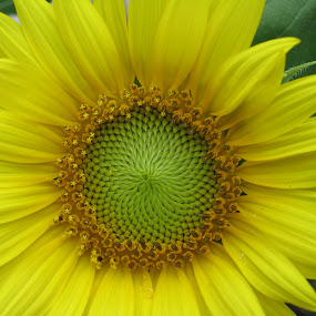 Sunflower by Barbara Suggs - Nature Up Close Flowers - 2011-2013 (  )