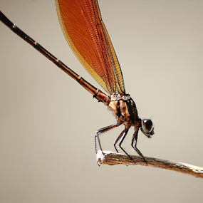 Euphaea l. lombockensis by Deny Afrian Wahyudi - Animals Insects & Spiders ( outdoor, biology, species, nature, odonata )