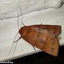Moth (Erebidae)