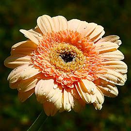Gardena orange by Gérard CHATENET - Flowers Single Flower