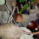 Bonnet Mushroom