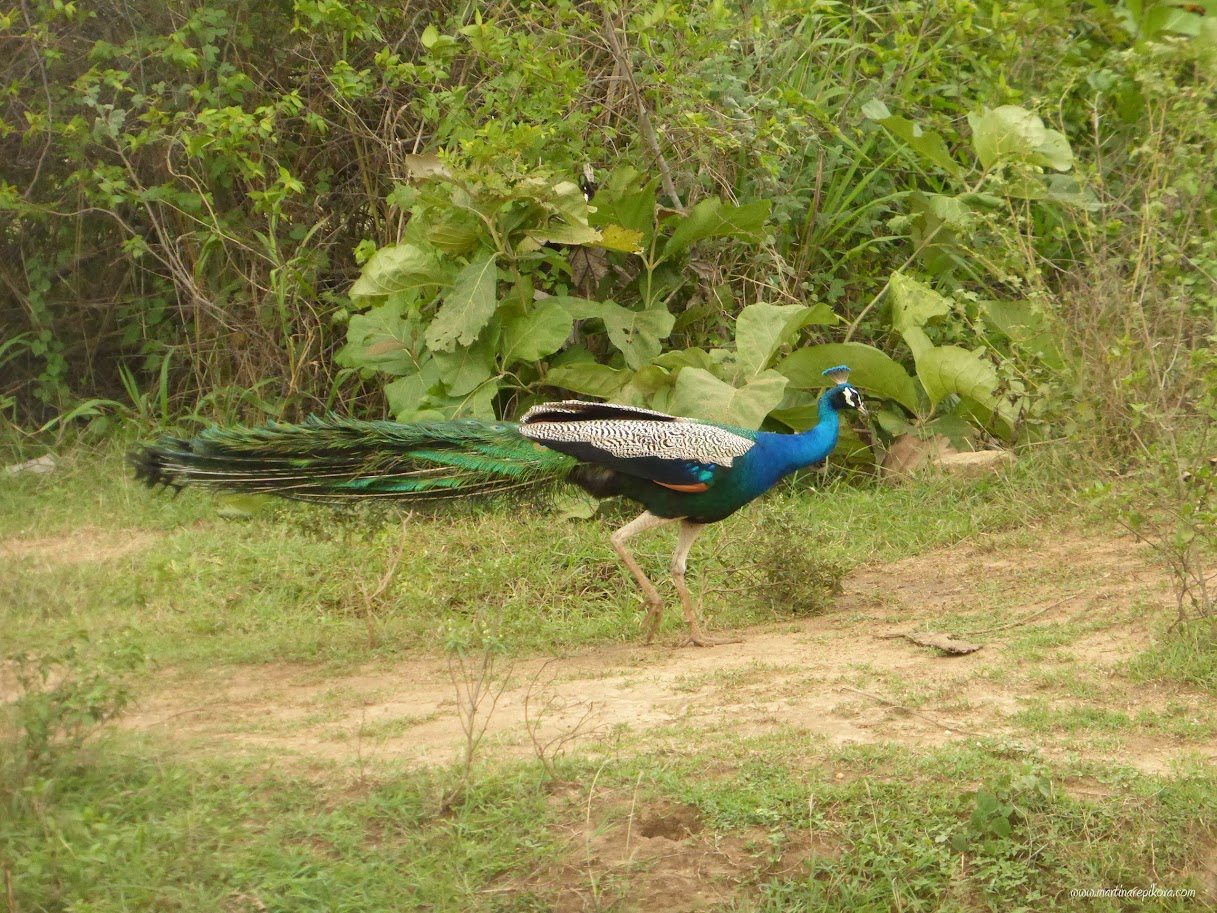 Indian peafowl, Uda Walawe, Sri Lanka