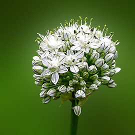 Onion Flower by Yatin Pandit - Nature Up Close Gardens & Produce