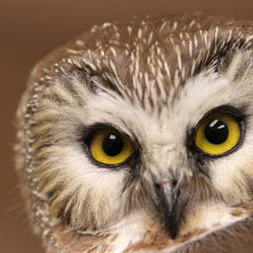 Northern Saw Whet Owl by Rusty Jhorn - Animals Birds ( bird, raptor.owl, brown, yellow, eyes,  )