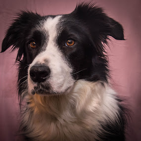 Lovely with a touch of pink by Thyra Schoonderwoerd - Animals - Dogs Portraits ( model, girl, border collie, background, pink,  )