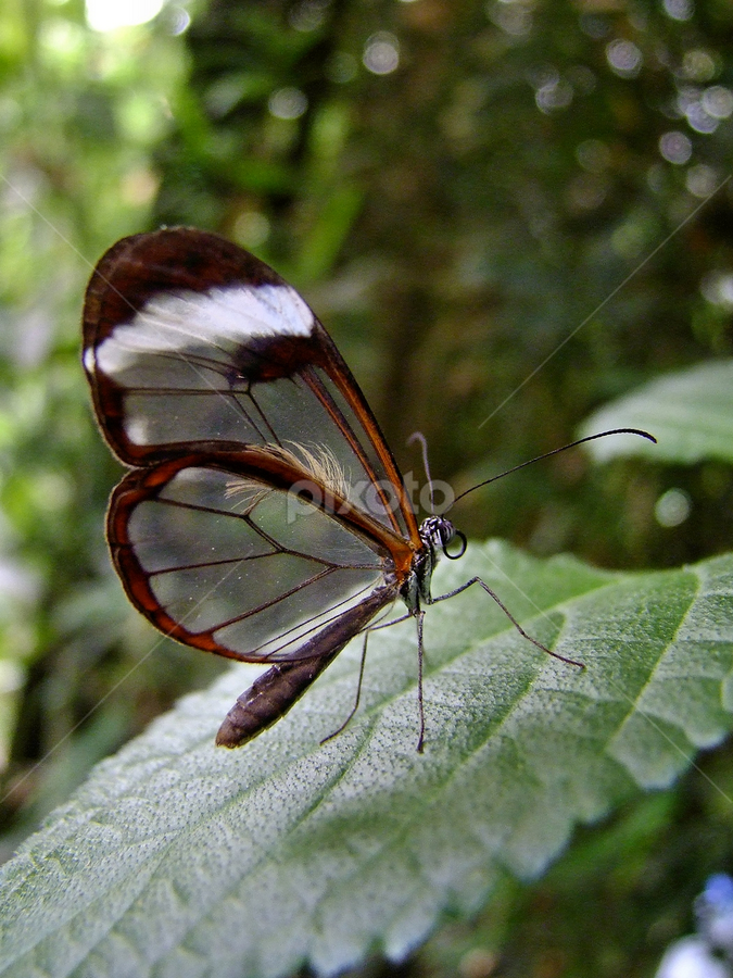 Clear wings of a Glasswing Butterfly / Greta oto by Dean Thorpe - Animals Insects & Spiders ( glasswing butterfly, butterfly, macro, glasswinged butterfly, insect, greta oto, close up,  )