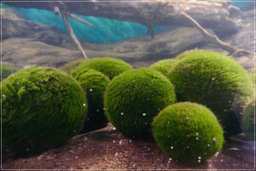 Marimo, as bolas algas de estimação