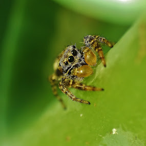 Jumping Spider by Amanda Blom - Animals Insects & Spiders