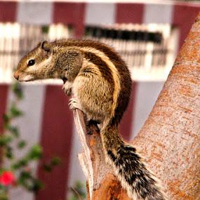 Indian Garden Squirrel a.k.a Indian Chipmunk by Anurag Bhateja - Animals Other ( chipmunk, india, squirrel )