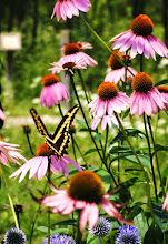 Photo: Black and yellow butterfly on purple flowers at Cox Arboretum in Dayton, Ohio.