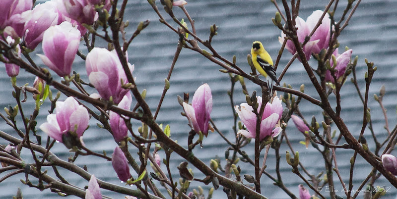 Photo: Goldfinch and Magnolias in the Rain