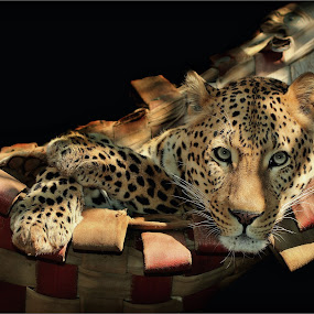 Leopard by Lize Hill - Animals Lions, Tigers & Big Cats (  )