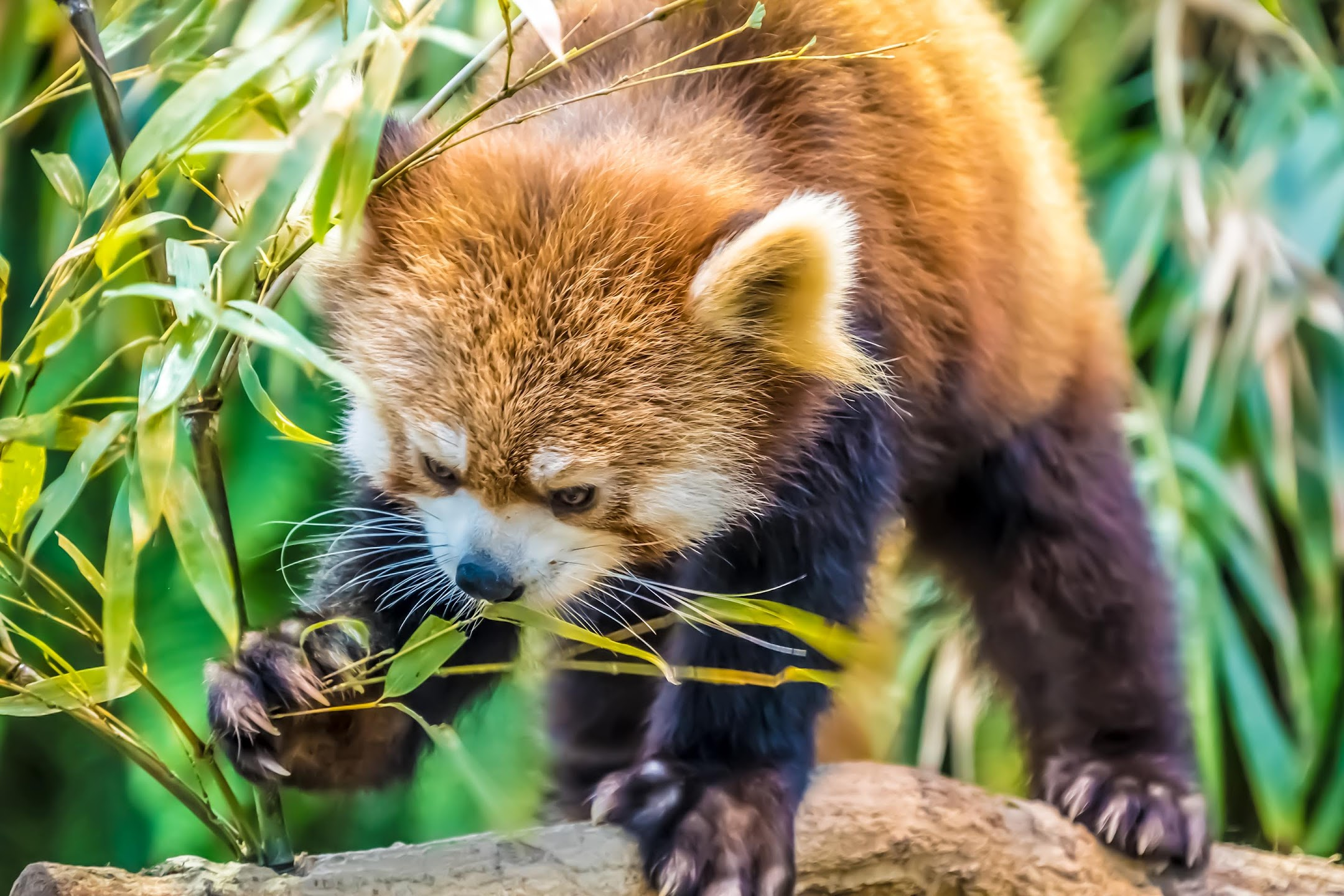 Kobe Animal Kingdom red panda2