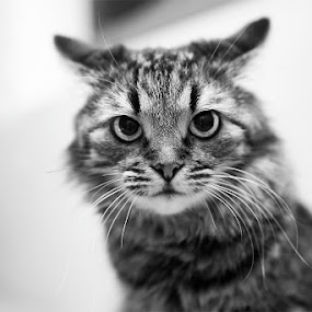 by Ekaterina Kaznacheeva - Animals - Cats Portraits ( cat )