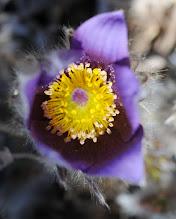 Photo: Pasque flower