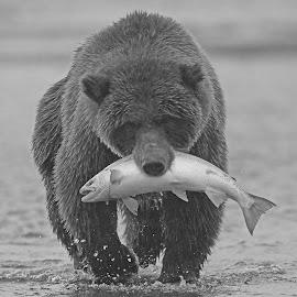 Great Catch by Anthony Goldman - Black & White Animals ( bear, water, wild, catch, wildlife, b & w, ocean, predator, nature, female, silver salmon, lake clark, brown )