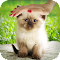Pat a Kitten 1.0 Apk