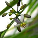 Dianella flowers