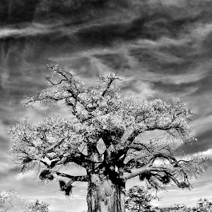 Baobab 1 xx.jpg