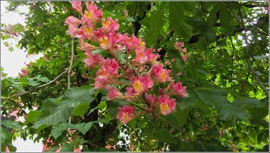 Photo: Castan rosu (Aesculus carnea Briottii) din Turda,  Str. Bogdan Petriceicu Hasdeu - 2019.05.16
