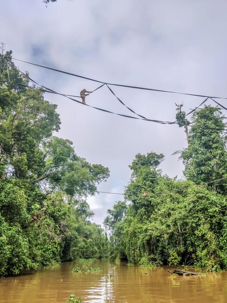 monkeys+kinabatangan+wildlife+safari+sabah+borneo