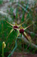 Photo: Caladenia huegelii
