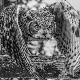 Focused by Garry Chisholm - Black & White Animals ( raptor, owl, bird of prey, nature, garry chisholm )