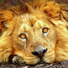 Awake-up ! by Gérard CHATENET - Animals Lions, Tigers & Big Cats (  )