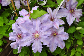 Photo: Clematis hybrida sieboldii