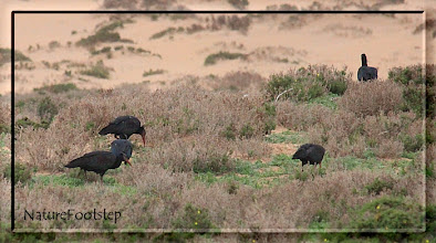 Photo: Eremitibis - Geronticus eremita - Northern Bald Ibis or Waldrapp - L'Ibis chauve NF Photo 121111 at Tamri, Morocco http://nfmoroccobirds.blogspot.se/2013/01/eremitibis-geronticus-eremita-northern.html