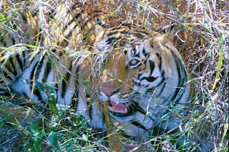 Photo: Aline's photo of a tigress at Kanha from 10 feet away on an elephant
