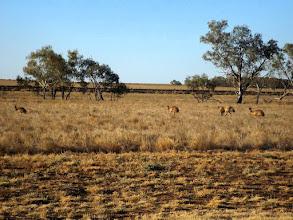 Photo: Noch mehr Emus ziehen nach Westen