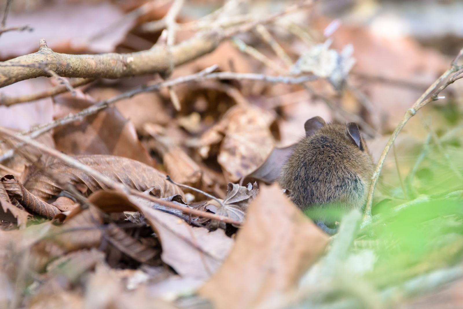 Photo: 「大きな森の中の小さな耳」 / Small ear in the forest.  じっと静かに 耳を傾ける 木々たちの声を いきものたちの声を その小さな小さな耳で  Small Japanese field mouse. (ヒメネズミ)  Nikon D7200 SIGMA 150-600mm F5-6.3 DG OS HSM Contemporary  #animal #mouse #kawaii #動物 #ねずみ #nikon #sigma  ( http://takafumiooshio.com/archives/2458 )