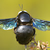 Indian Bhanvra,  Violet Carpenter Bee