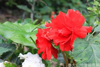 Photo: 拍攝地點: 梅峰-溫帶花卉區 拍攝植物: 球根秋海棠 拍攝日期: 2014_07_27_FY