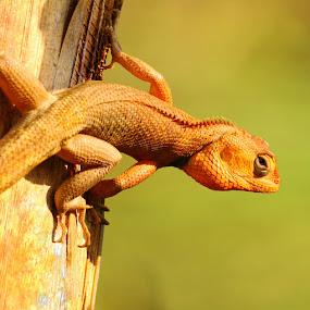 KADAL by B Iwan Wijanarko - Animals Reptiles