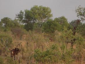 Photo: Sable and a giraffe