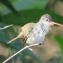 Violet- Crowned Hummingbird