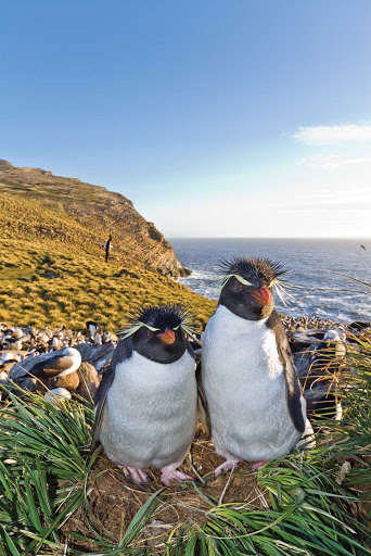 Visitors encounter Southern rockhopper penguins  at the breeding and molting colony on West Point Island in the Falkland Islands.