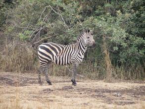 Photo: Zebra!